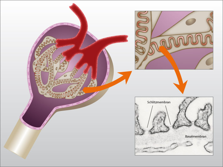 Podozyten und der Nierenfilter